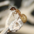 Camponotus turkestanus 09 Major Arbeiterin 03