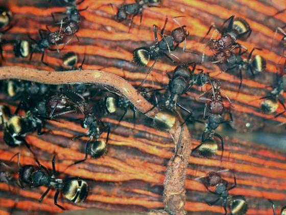 Camponotus sericeus 04 mehrere Arbeiterinnen 01
