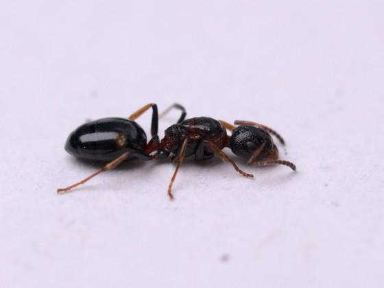 Dolichoderus quadripunctatus Königin 1-5