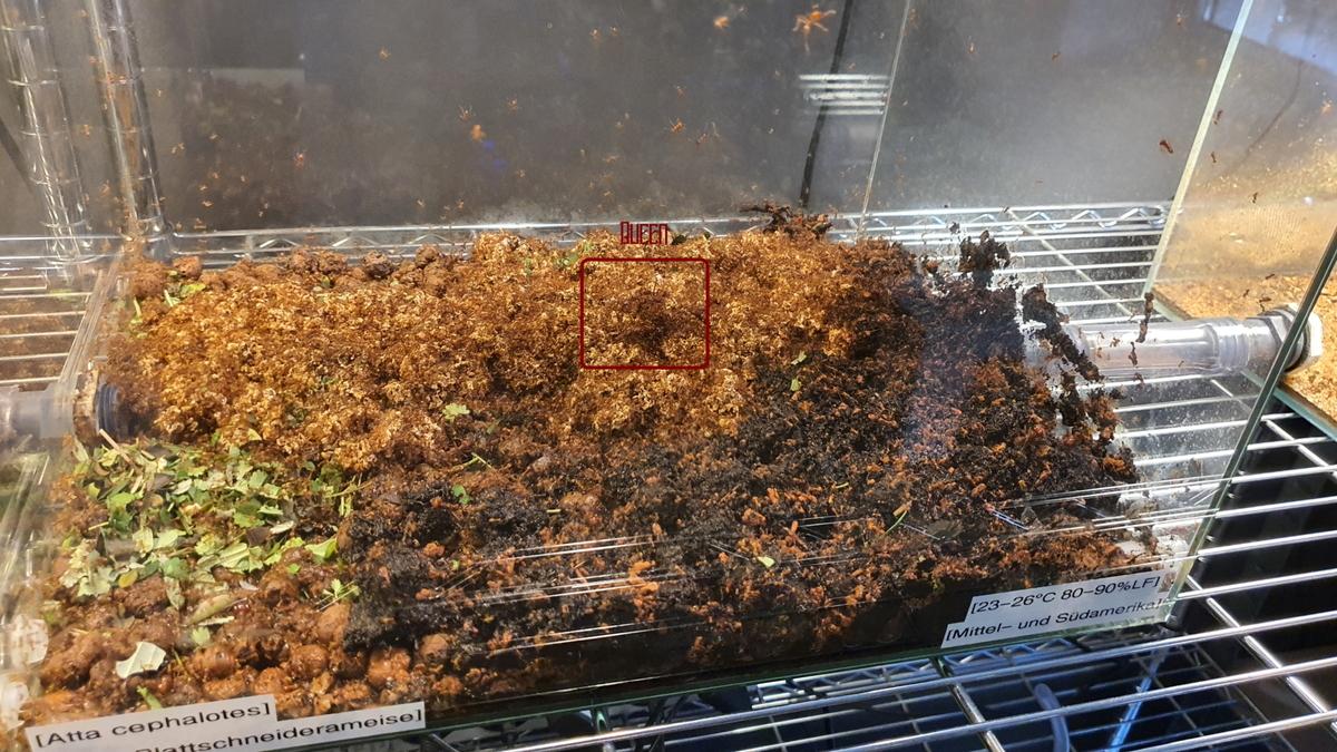 Atta cephalotes Winter Pilz Kollaps [24.02.12]