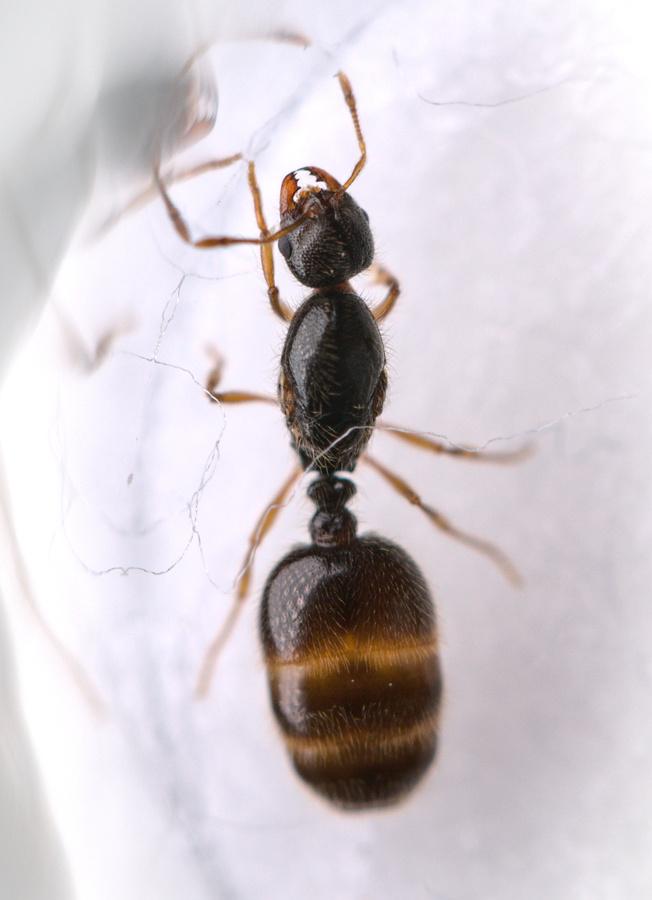 Solenopsis fugax Königin 1-1