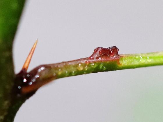 Pseudomyrmex ferrugineus 15 Nektarium 02