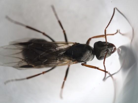 Formica fusca Königin 1-1