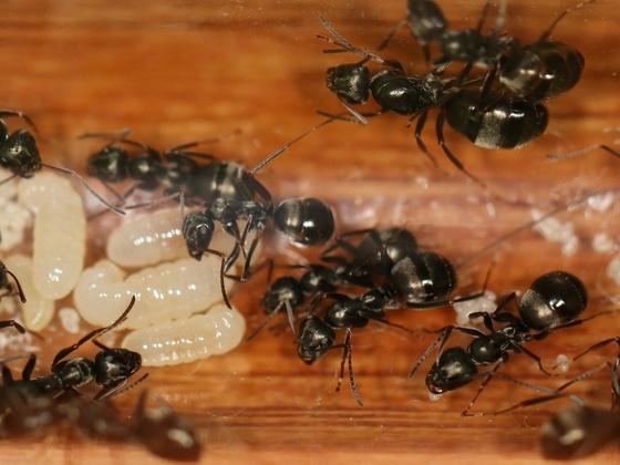 Formica fusca 04 Kolonie im RG nach Milbenbefall 02