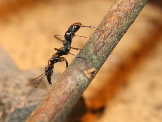 Neoponera apicalis 03