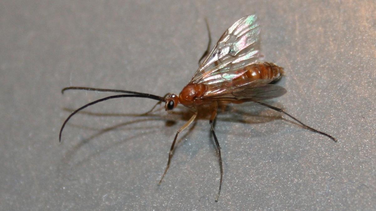 Diacamma cf. rugosum 11 Männchen 02