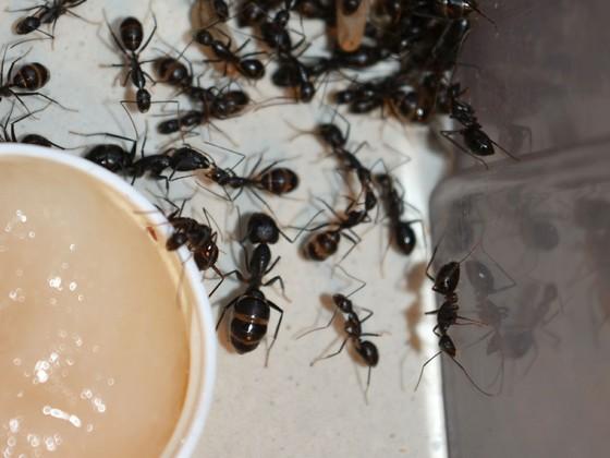 Camponotus sp. Thailand