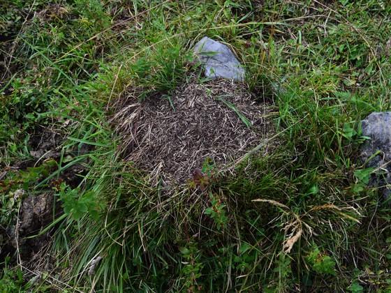 Nest von Formica exsecta