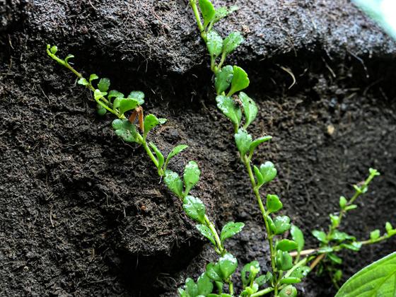 Kalanchoe uniflora