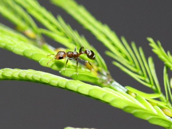 Pseudomyrmex ferrugineus 02 Arbeiterin 02