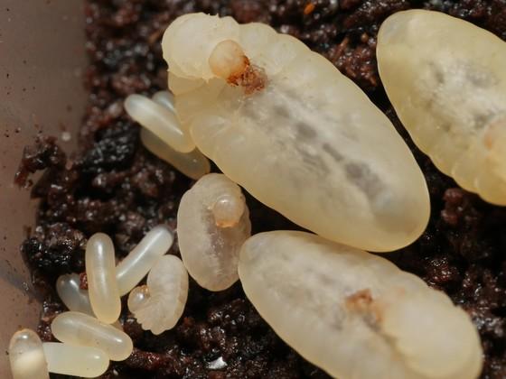 Pseudoneoponera tridentata 15 Brut 01