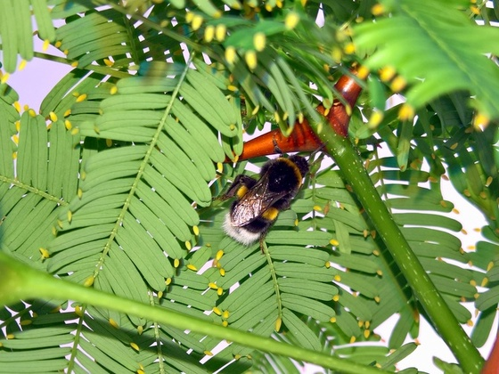 Bombus terrestris bedient sich an den Nektarien von Vachellia collinsii