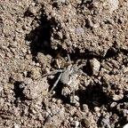 Eine unbestimmte Spinne aus der Familie Lycosoidea