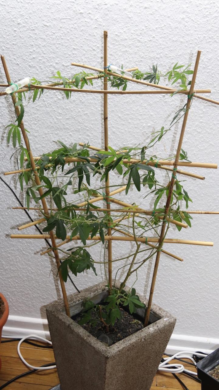 Tetraponera schulthessi 33 Passiflora 20180401 03