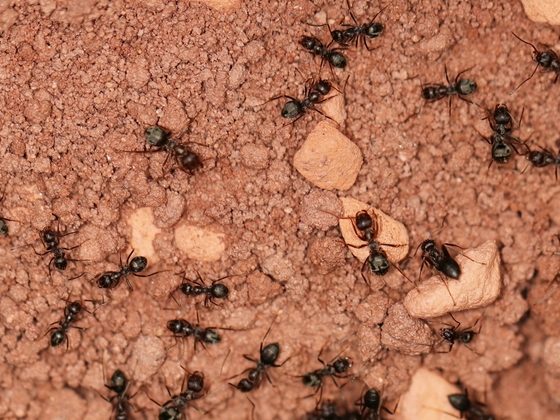 Anoplolepis steingroeveri 04 mehrere Arbeiterinnen im Nest 02