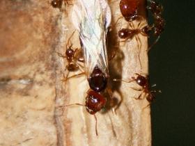 Pheidole pallidula 14 alate Gyne mit Arbeiterinnen 01
