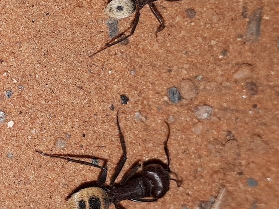 Camponotus hybrid
