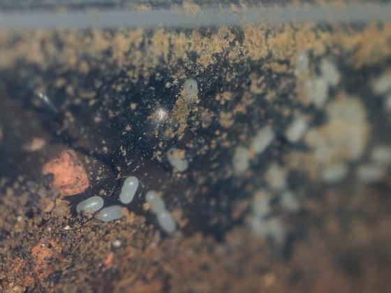 Streblognathus peetersi 09 frische Eier 02