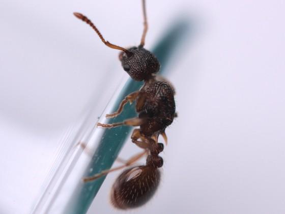 Myrmica scabrinodis 1-1