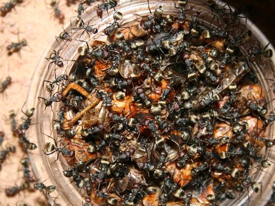 Camponotus sericeus 03 mehrere Arbeiterinnen beim Fressen 01