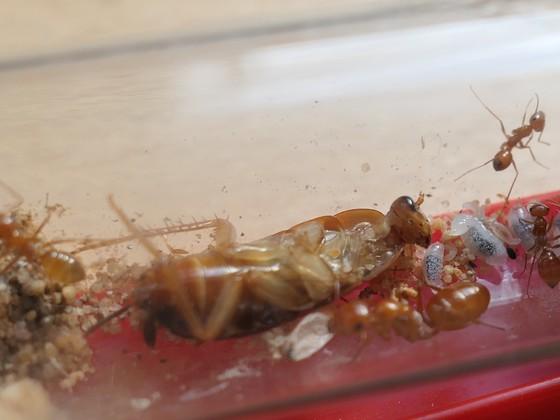 Cataglyphis livida - 2