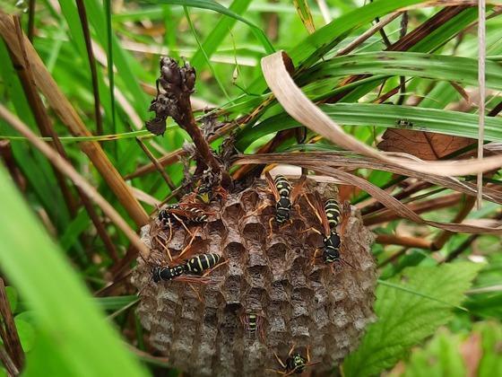 Polistes sp. Nest