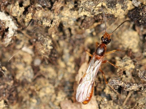 Daceton armigerum 02 Männchen 02