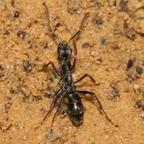 Diacamma cf. rugosum 09 eine Arbeiterin 03