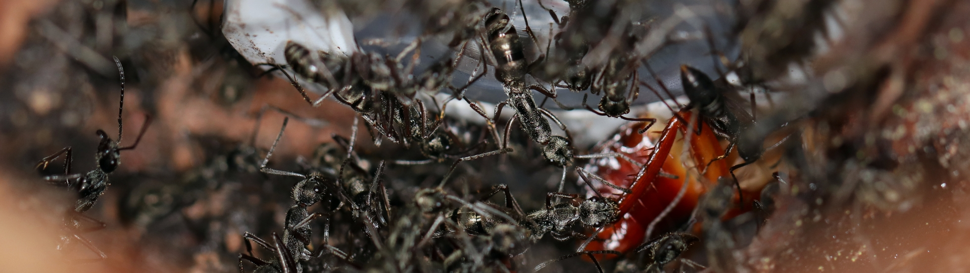 Diacamma cf. rugosum 43 mehrere Arbeiterinnen beim Einbringen von Beute 05