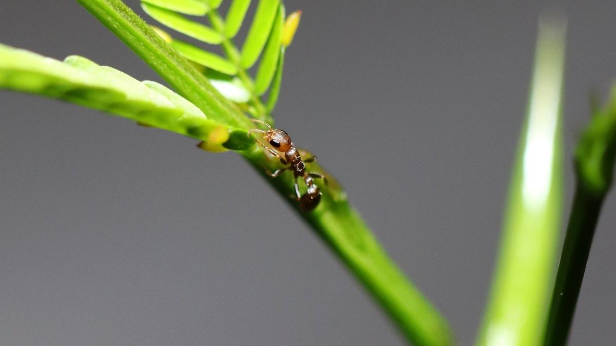 Pseudomyrmex ferrugineus 01 Arbeiterin 01