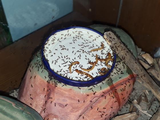 Pheidole pallidula Lebendfütterung