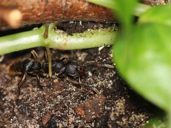 Pseudoneoponera tridentata 08 Arbeiterin 04