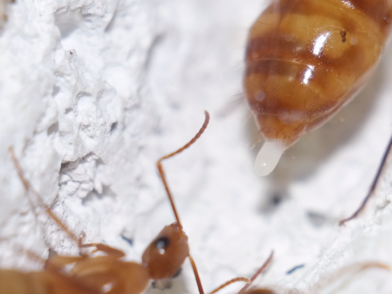Camponotus cf. substitutus Gyne bei Eiablage
