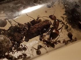 Camponotus nicobarensis - 1