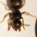 Lasius brunneus 04 Gyne 02