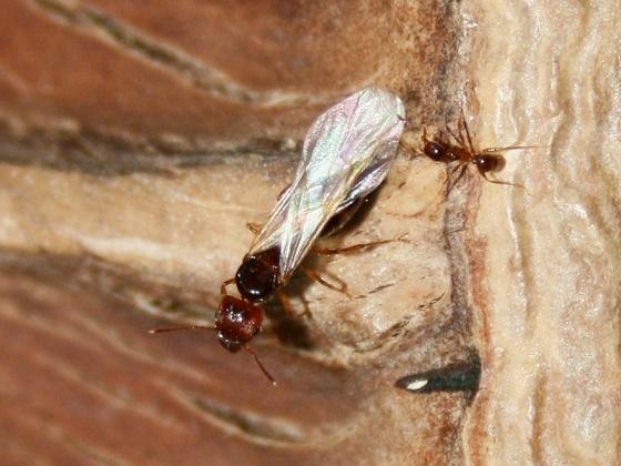 Pheidole pallidula 13 alate Gyne mit Arbeiterin 01