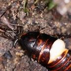 Odontomachus chelifer 02 Arbeiterin mit Schabe 02