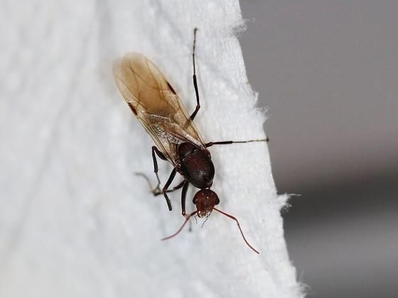 Camponotus sericeus 08 ein Männchen 01