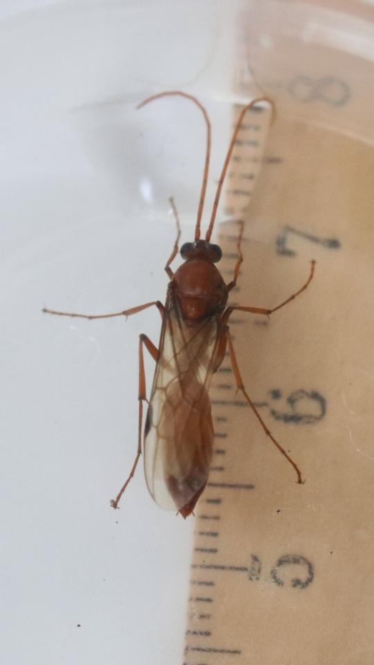 Streblognathus peetersi 31 Männchen 01