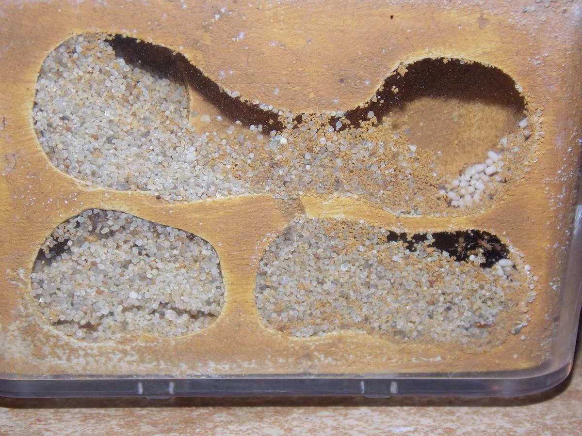Lasius flavus 12 gynen
