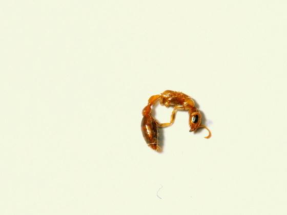 Eine tote Pseudomyrmex spinicola Jungkönigin