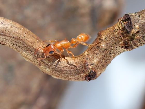 Tetraponera natalensis 03 Arbeiterin beim Klettern 02