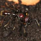 Paraponera clavata 02 Gyne 02
