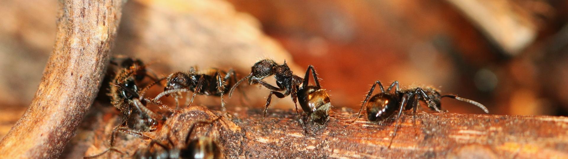 Dolichoderus bispinosus 10 mehrere Arbeiterinnen 03