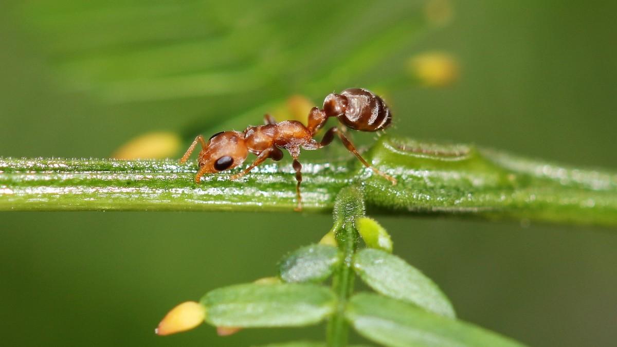 Pseudomyrmex ferrugineus 37 Arbeiterin 12