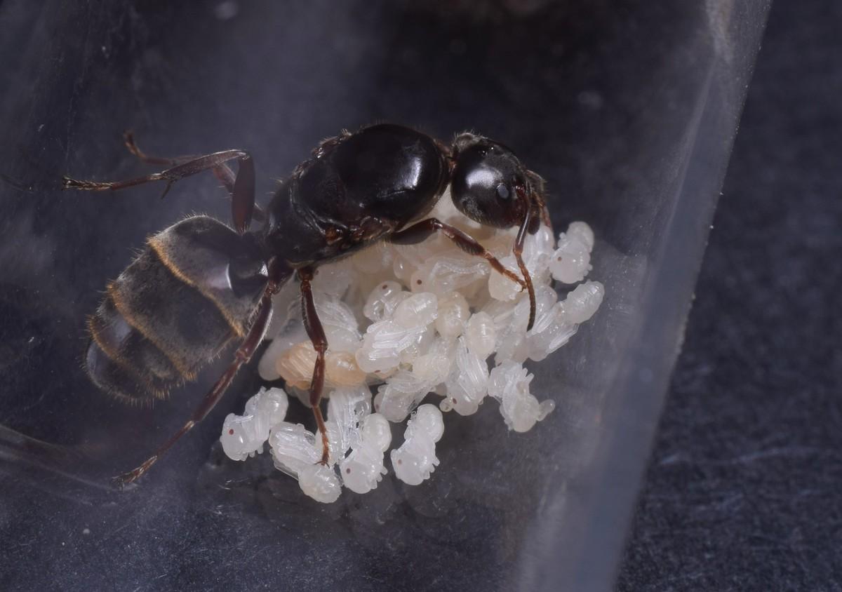 Liometopum microcephalum Königin