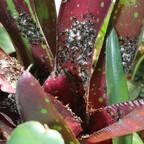 Dolichoderus bispinosus 81 Nest in den Bromelien 02