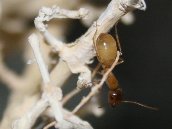 Camponotus turkestanus 10 Major Arbeiterin 04