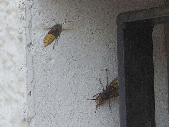 Vespa crabro, Anflug am Nest