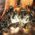 Dolichoderus bispinosus 13 mehrere Arbeiterinnen mit Brut 01